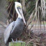 mona's pelican