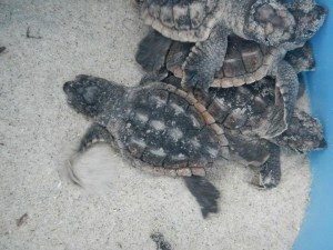 Mermaid Morning Bliss Coffee supports Tybee Sea Turtle Conservation