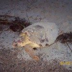 Tybee Island's Sea Turtles