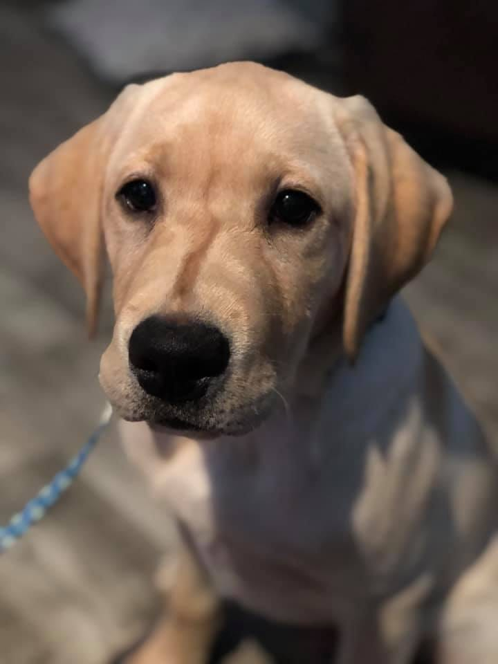 Tybee is a Guide Dog puppy in training