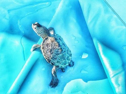 tybee island turtle